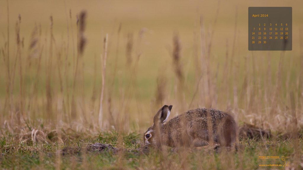 Hase-Holger-Hackenjos-Naturfotografie