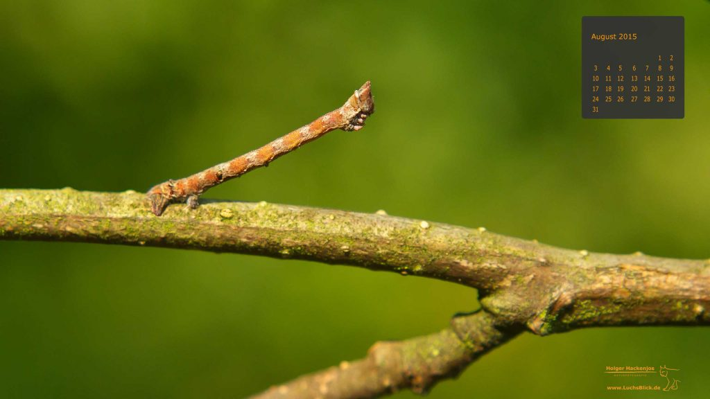Holger-Hackenjos-Naturfotografie-Raupe