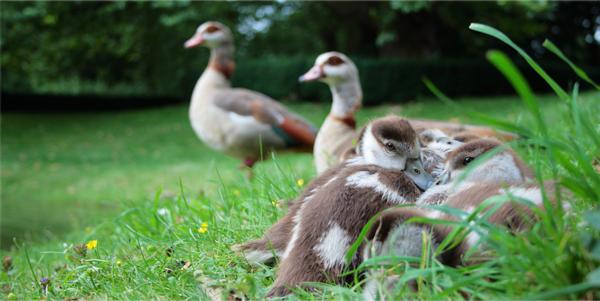 Nilgansfamilie-ohne-Furcht-Holger-Hackenjos-Natur-Fotografie-Erleben